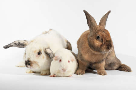 Rabbit and white guinea pig, Rabbit and friend, Rodent family.