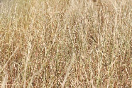 dry grass field background. Grass Field Background, Dry Golden Grass. Stock Photo - 77694079 Background Y