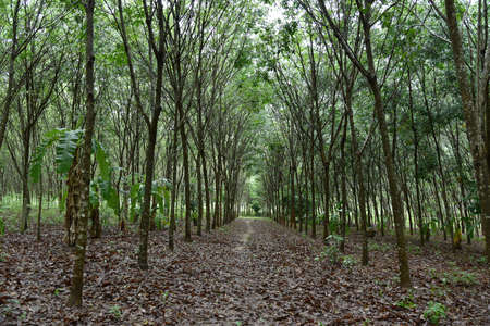 Natural rubber plantation, Rubber tree lane forest. Stock Photo