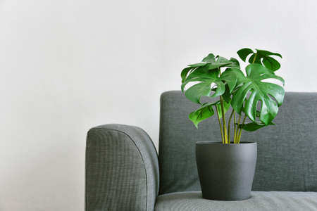 Artificial plant, Philodendron monstera planted on sofa, Indoor tropical houseplant for home and living room interior. 스톡 콘텐츠