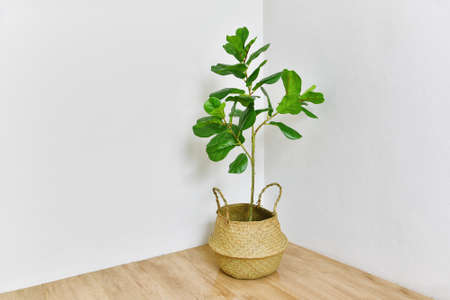 Artificial plant, Fiddle leaf fig tree on room corner, Indoor tropical houseplant for home and living room interior. 스톡 콘텐츠