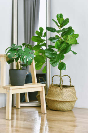 Artificial plant, Fiddle leaf fig tree and monstera planted in black pot on room corner, Indoor tropical houseplant for home and living room interior. Imagens