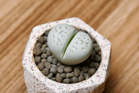 Lithops (Dinteranthus) is cactus or succulent plants in desert, As known as living stones, Indoor small plant for hobby and decoration.