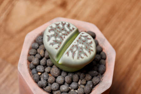 Lithops (Dorotheae c124) is cactus or succulent plants in desert, As known as living stones, Indoor small plant for hobby and decoration. Imagens