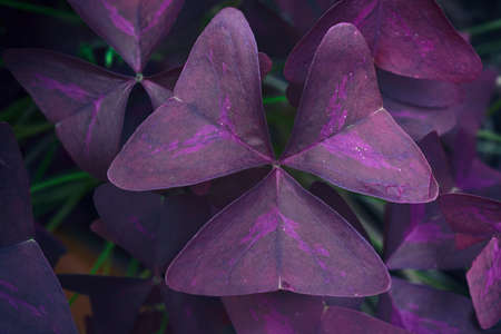 Butterfly triangle leaf natural background, Oxalis purpurea tree common called shamrocks plant, Gardening and plant for hobby and decoration.
