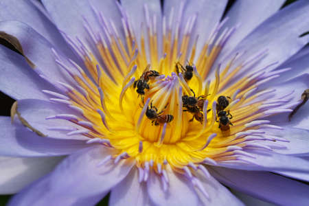 Bees collecting pollen from lotus water lilly flower, Bees do pollination is natural ecology. Imagens
