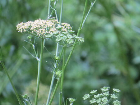 queen anne   s lace:  Queen Annes Lace flowers Stock Photo
