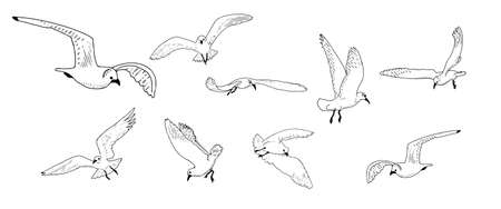 Gulls in flight drawing a line on a white background