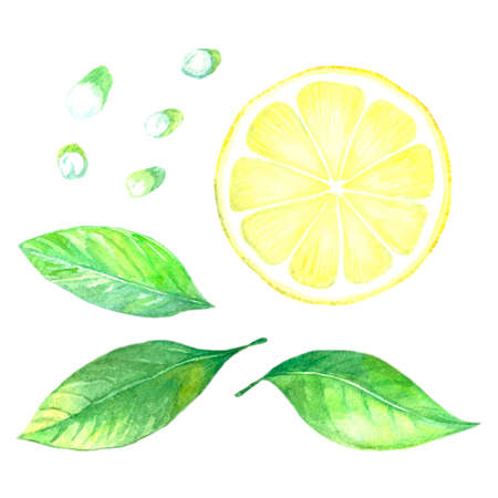 Collection of watercolor images of lemon. Citrus fruits on a flowering branch. Slice of lemon fruit. A set of illustrations of citrus. Handmade drawing. Isolated image on white background. Stock Photo