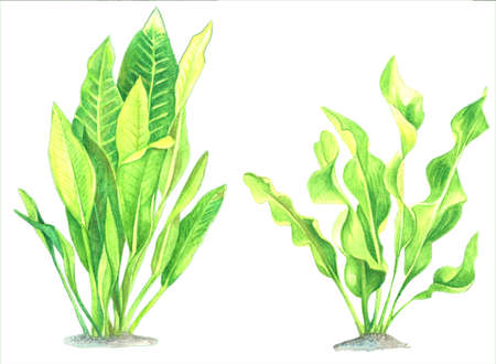 A set of watercolor images of seaweed on a white background. A collection of bright hand-made illustrations. Isolated drawings of hand-painted.