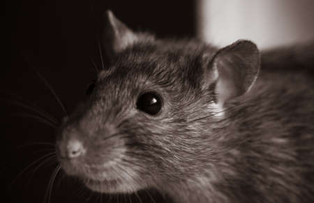 cute pet rat in black and white with little sephia effect