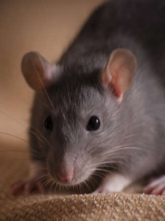 cute blue gray pet rat portrait Stock Photo
