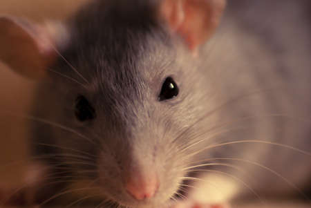 closeup on  cute pet rat