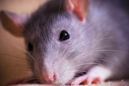 cute rat pet closeup macro photo