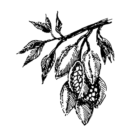 Branch with cocoa beans plant hand draw illustration sketch