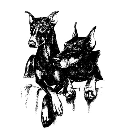 Vector hand draw n doberman dog vintage illustration on white background Иллюстрация