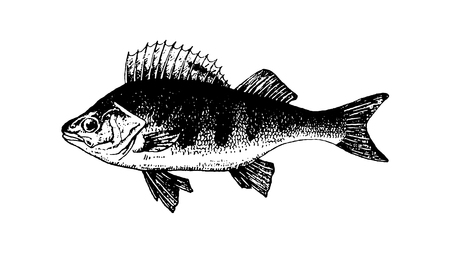 Vector hand drawn Fishes sketch illustration on white background