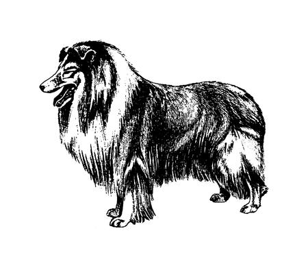 Vector hand drawn dog collie vintage illustration Vetores