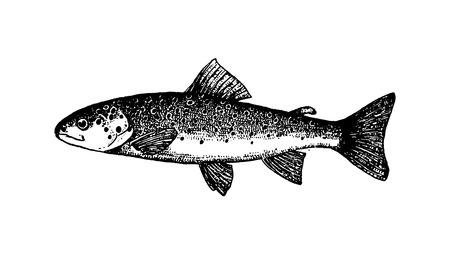 Illustrazione disegnata a mano di schizzo dei pesci di vettore su fondo bianco