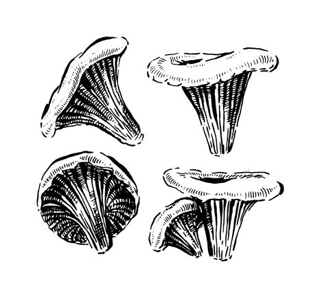 Chanterelle mushrooms. Hand drawn vintage vector illustration on white background