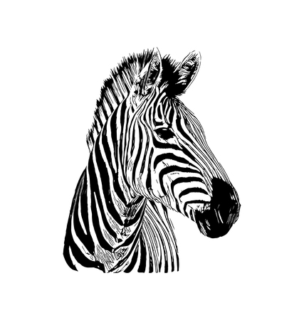 Zebra vector graphic illustration on white background