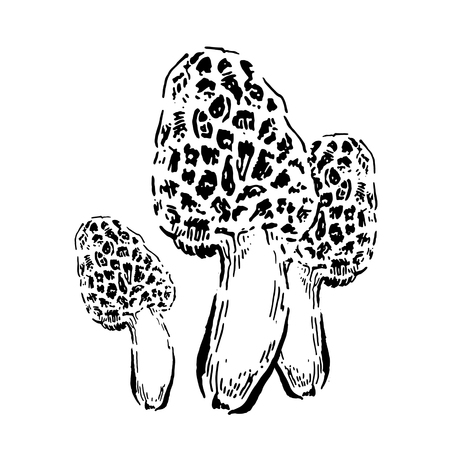 Morel mushrooms. Hand drawn vintage vector illustration on white background