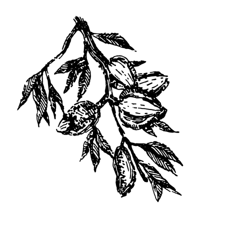 Branch with almonds nuts plant hand draw illustration sketch Illustration
