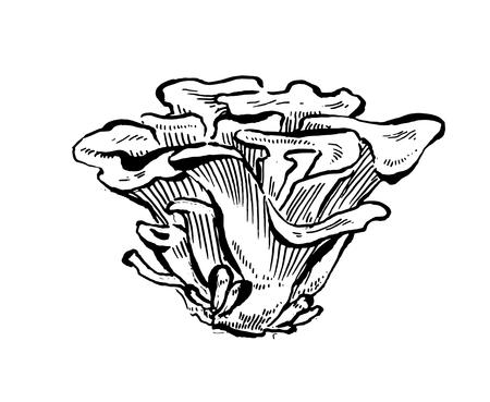 Maitake mushrooms. Hand drawn vintage vector on white background