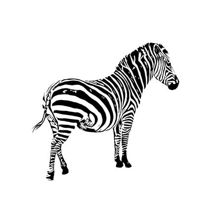 Ilustración gráfica de vector de cebra sobre fondo blanco Ilustración de vector