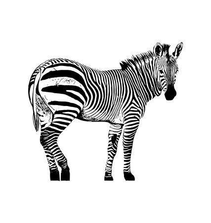 Ilustración gráfica de vector de cebra sobre fondo blanco