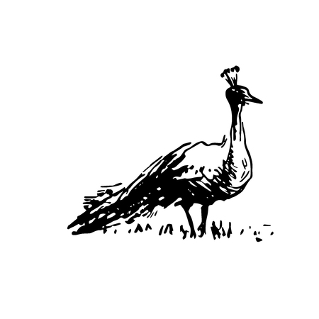 Hand drawn sketch of peacock bird black on white background