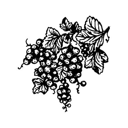 Vector hand drawn Berries currant branch hand drawn illustration on white background.