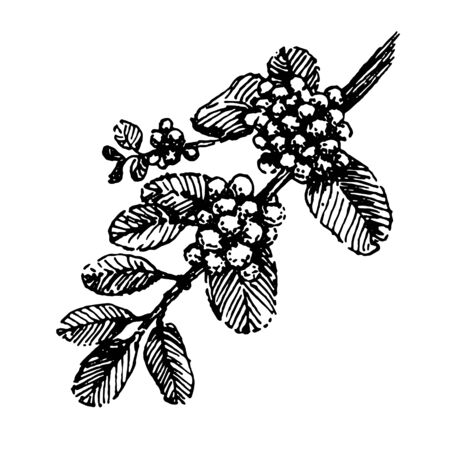 Branch with coffee beans plant hand draw illustration sketch vector Ilustrace