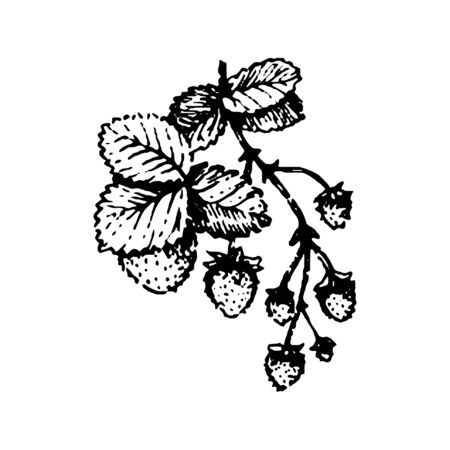 Vector hand drawn Berries strawberry branch hand drawn illustration on white background. Reklamní fotografie - 133781353