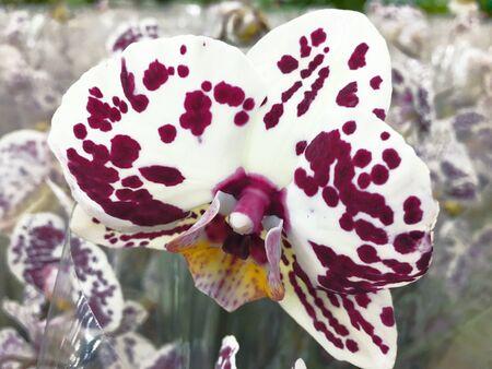 Flowering Orchid falenopsis prepared for sale at sho 版權商用圖片