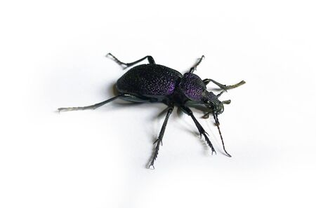 Big black and violet beetle isolated on white Stock Photo