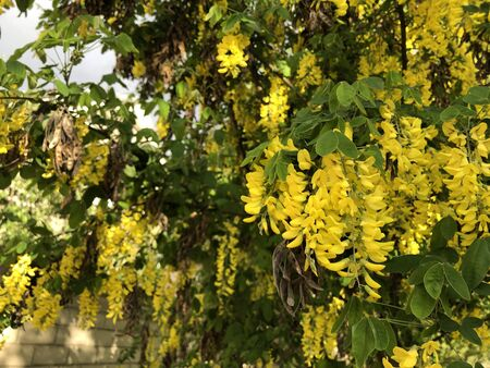 Yellow acacia flowers are hanging on the tree