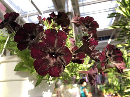 Rare flower variety black petunia in white pot 스톡 콘텐츠