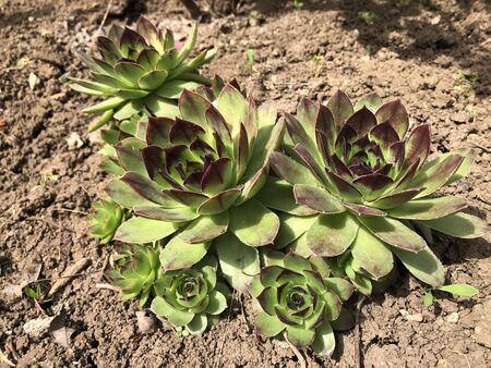 Succulents growing on the ground in the garden Zdjęcie Seryjne