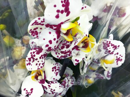 Flowering Orchid falenopsis prepared for sale at sho Zdjęcie Seryjne