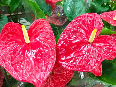 Red anthurium flowes tropical background. Several flowers of Anthurium Spice shot. Anthuriums: The red, heart-shaped flower of Anthuriums