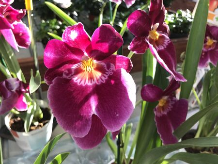 Bright pink and yellow exotic flower of Miltonia