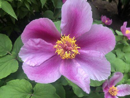 Wild Peony Rare Flower sort Paeonia kavachensis Aznav
