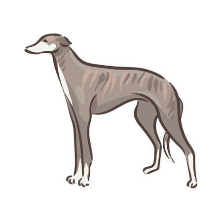 Cute dog Whippet breed pedigree vector illustration 向量圖像