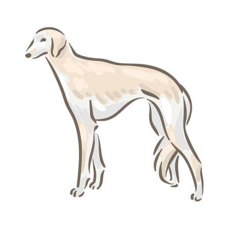 Cute dog Saluki breed pedigree vector illustration