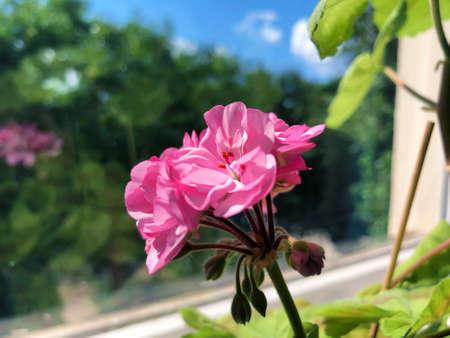 Beautiful home geranium flower on the windowsill