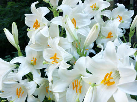 Flower bed with large beautiful white lilies Фото со стока