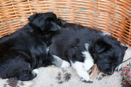 sleeping puppy dogs in their dog basket photo