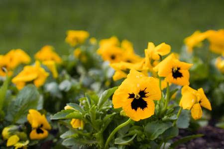 viola flowers in spring garden flower bed Stock Photo - 4930378