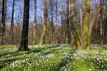 deciduous woodland: anemone flowers in deciduous woodland at springtime Stock Photo